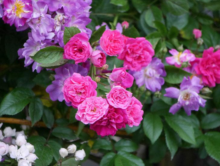 キングローズ(ツルバラ)の花が満開になった。2020年-029.jpg