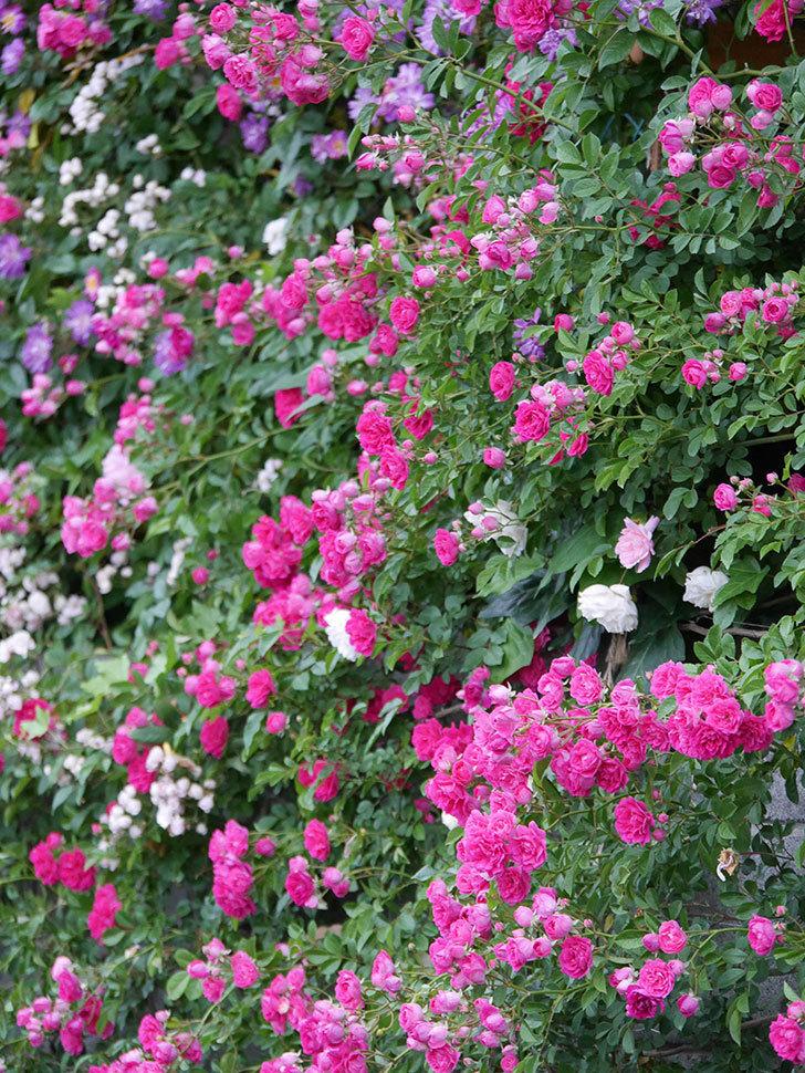キングローズ(ツルバラ)の花が満開になった。2020年-030.jpg