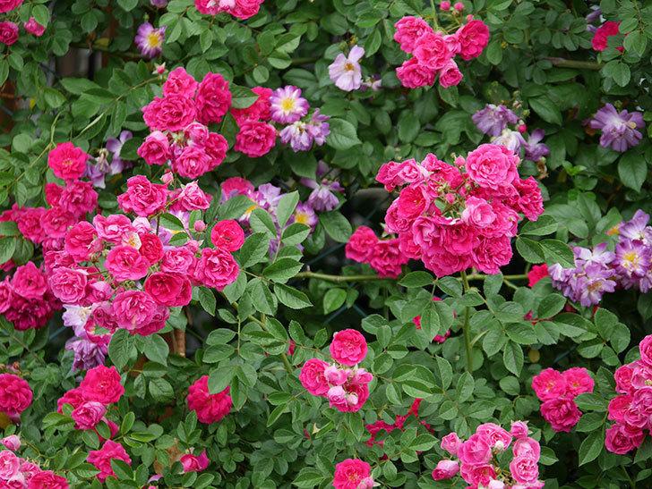 キングローズ(ツルバラ)の花が満開になった。2020年-031.jpg