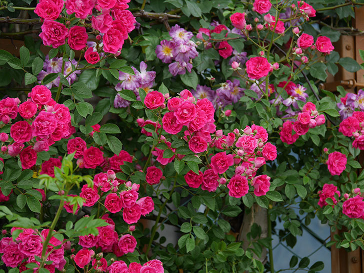 キングローズ(ツルバラ)の花が満開になった。2020年-032.jpg