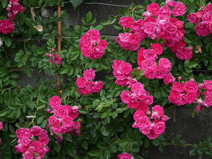 キングローズ(ツルバラ)の花が満開になった。2020年-033.jpg