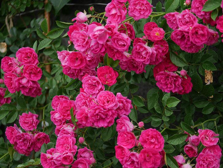 キングローズ(ツルバラ)の花が満開になった。2020年-034.jpg