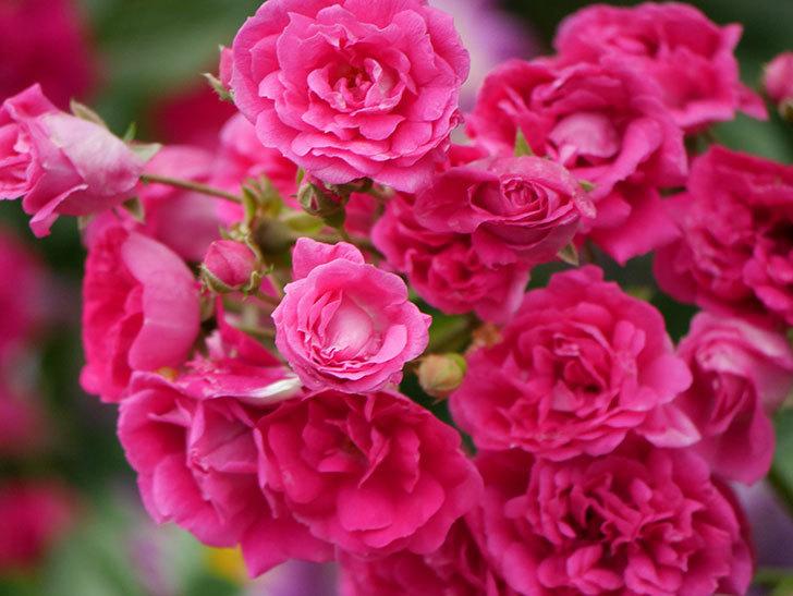 キングローズ(ツルバラ)の花が満開になった。2020年-035.jpg