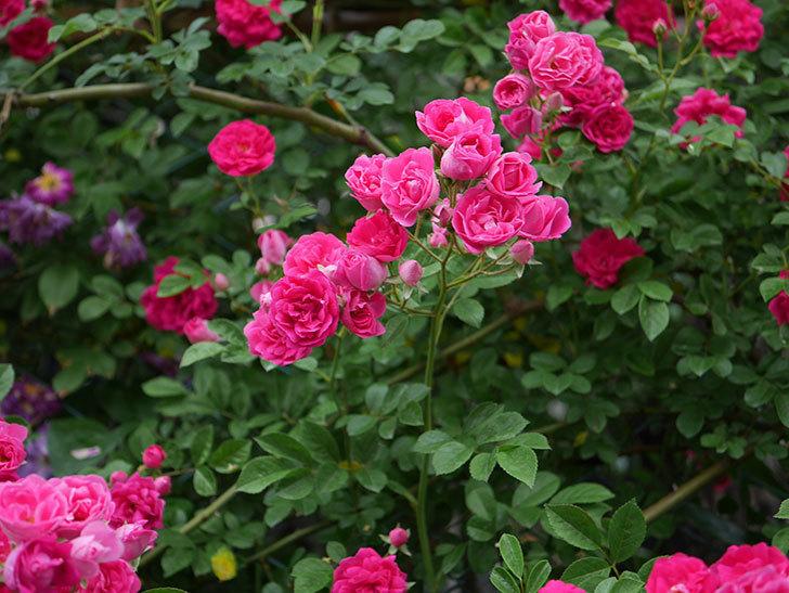 キングローズ(ツルバラ)の花が満開になった。2020年-036.jpg