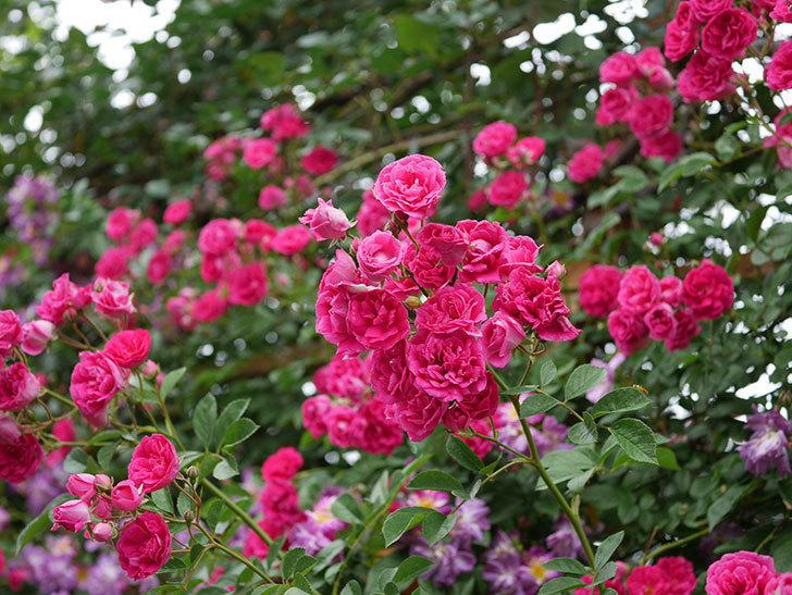 キングローズ(ツルバラ)の花が満開になった。2020年-037.jpg