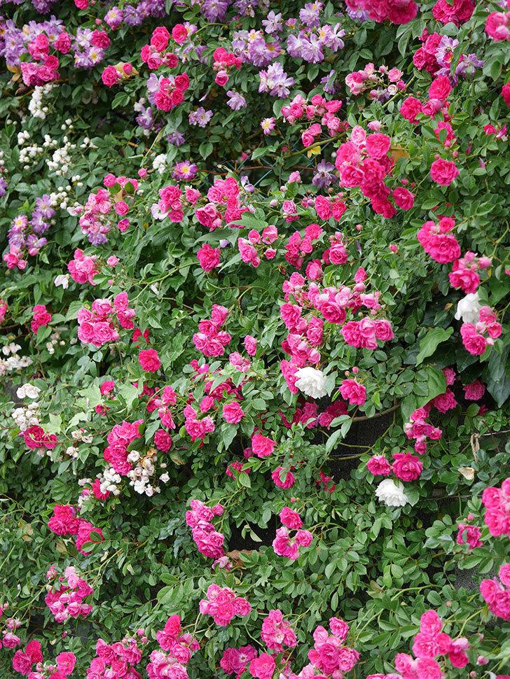 キングローズ(ツルバラ)の花が満開になった。2020年-038.jpg