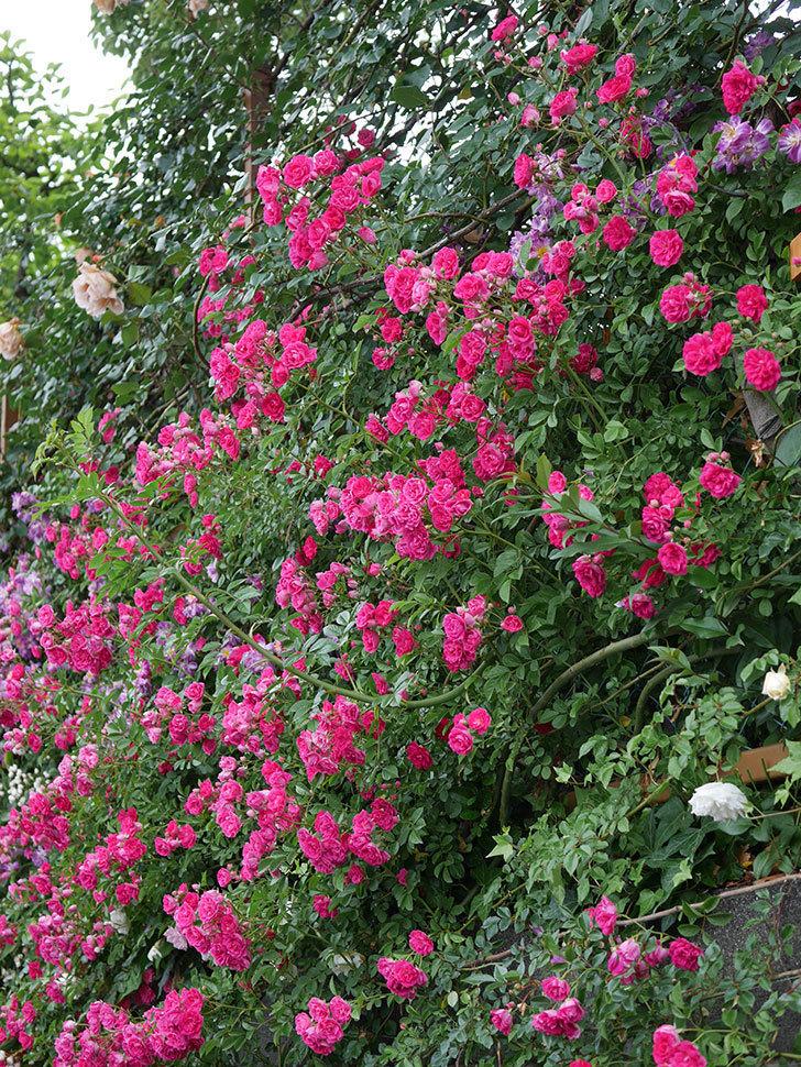キングローズ(ツルバラ)の花が満開になった。2020年-039.jpg