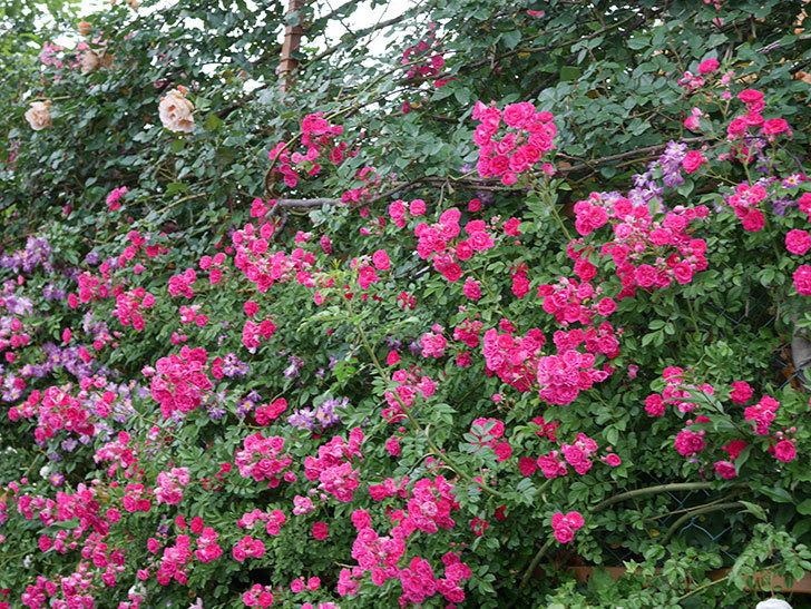 キングローズ(ツルバラ)の花が満開になった。2020年-040.jpg
