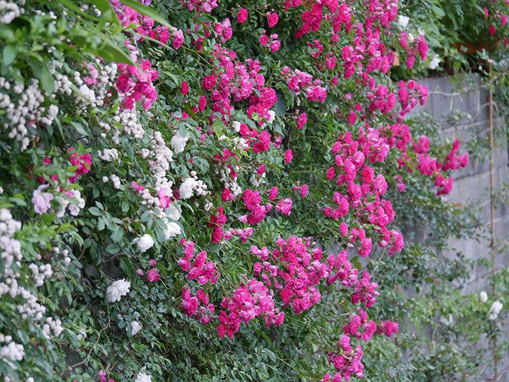 キングローズ(ツルバラ)の花が満開になった。2020年-041.jpg