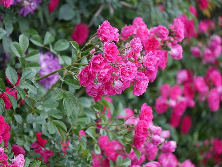 キングローズ(ツルバラ)の花が満開になった。2020年-042.jpg