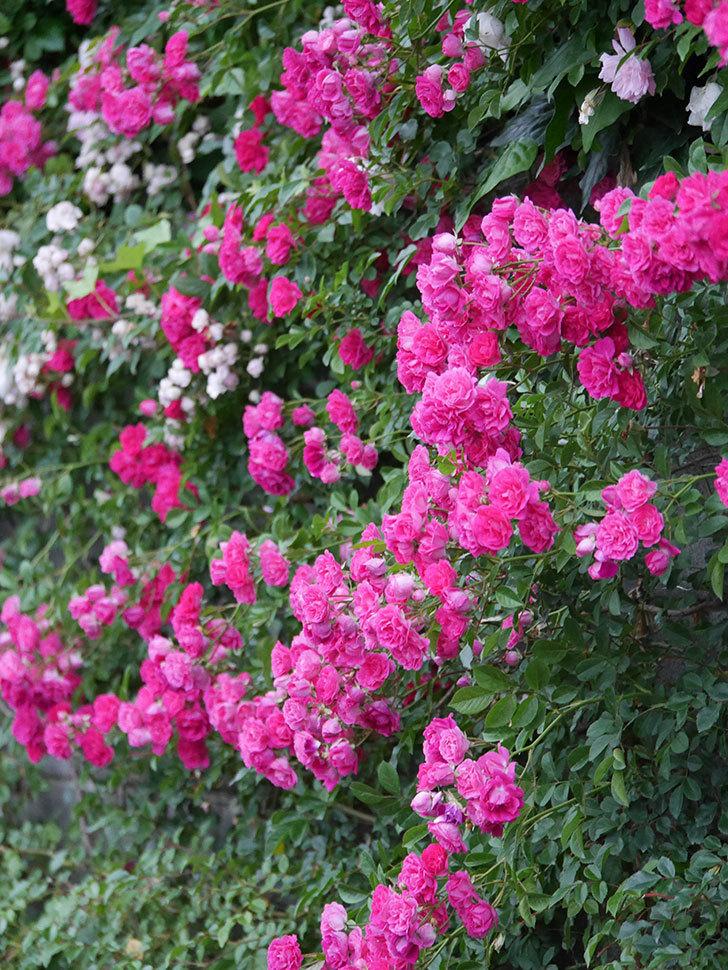 キングローズ(ツルバラ)の花が満開になった。2020年-043.jpg