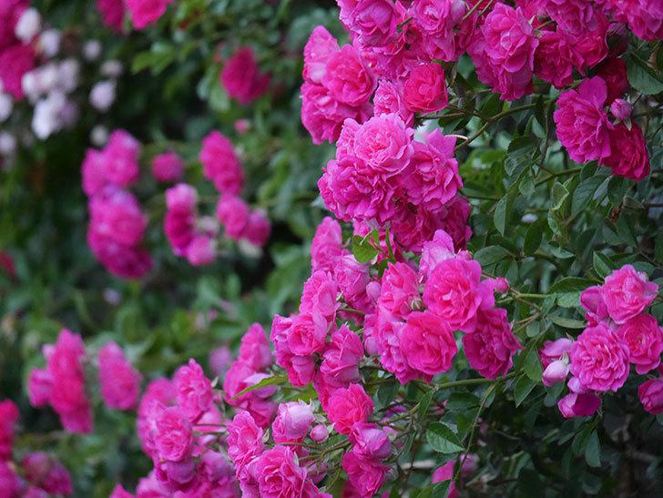 キングローズ(ツルバラ)の花が満開になった。2020年-044.jpg