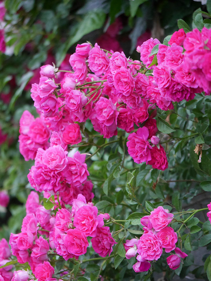 キングローズ(ツルバラ)の花が満開になった。2020年-045.jpg