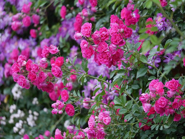 キングローズ(ツルバラ)の花が満開になった。2020年-046.jpg