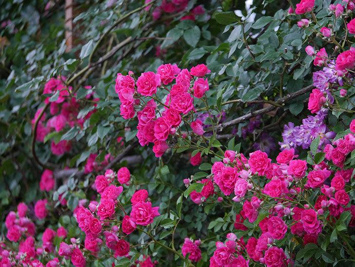 キングローズ(ツルバラ)の花が満開になった。2020年-047.jpg