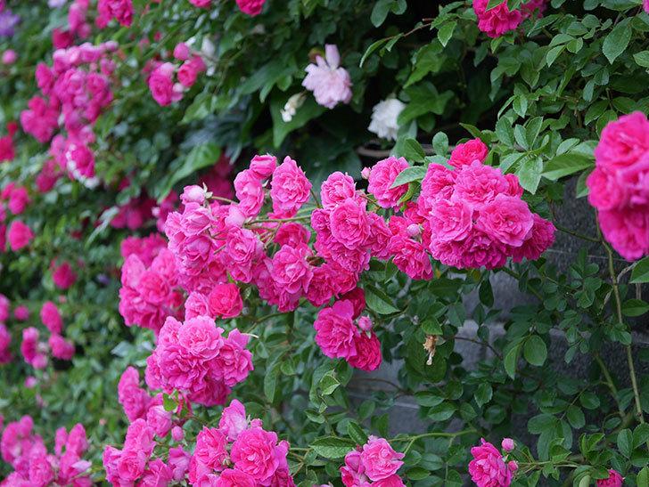 キングローズ(ツルバラ)の花が満開になった。2020年-048.jpg