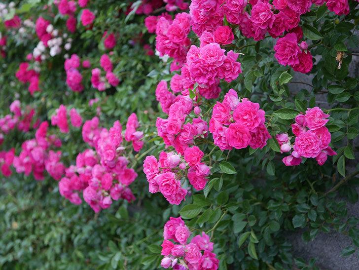 キングローズ(ツルバラ)の花が満開になった。2020年-049.jpg
