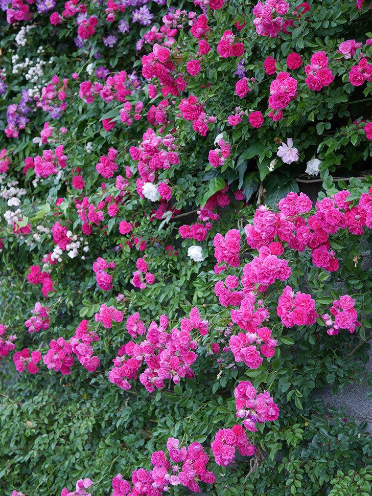キングローズ(ツルバラ)の花が満開になった。2020年-050.jpg