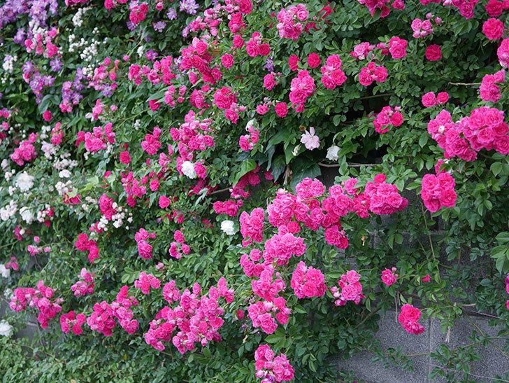 キングローズ(ツルバラ)の花が満開になった。2020年-051.jpg