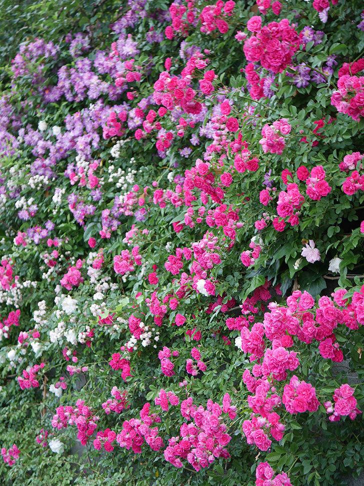 キングローズ(ツルバラ)の花が満開になった。2020年-052.jpg