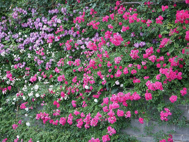 キングローズ(ツルバラ)の花が満開になった。2020年-053.jpg