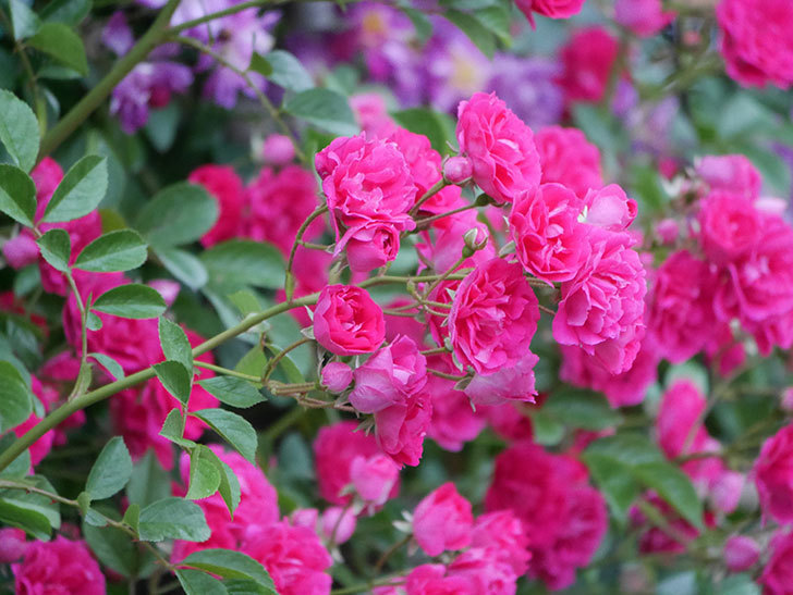 キングローズ(ツルバラ)の花が満開になった。2020年-055.jpg