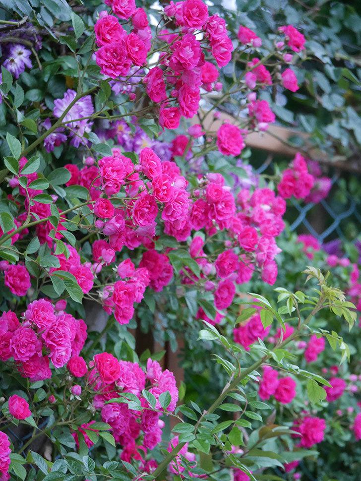 キングローズ(ツルバラ)の花が満開になった。2020年-056.jpg