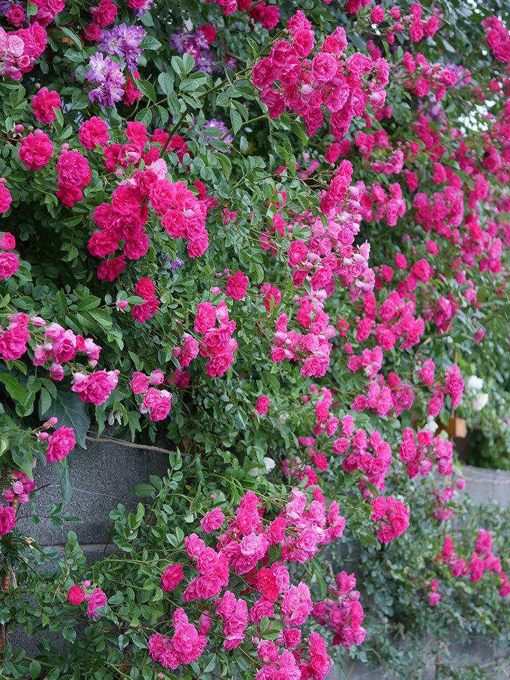 キングローズ(ツルバラ)の花が満開になった。2020年-057.jpg