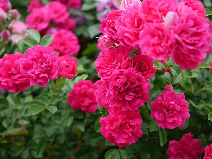 キングローズ(ツルバラ)の花が満開になった。2020年-058.jpg