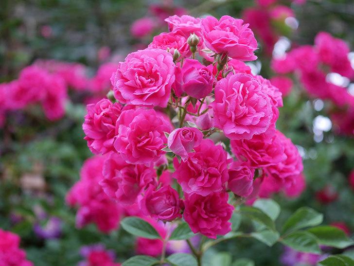 キングローズ(ツルバラ)の花が満開になった。2020年-059.jpg