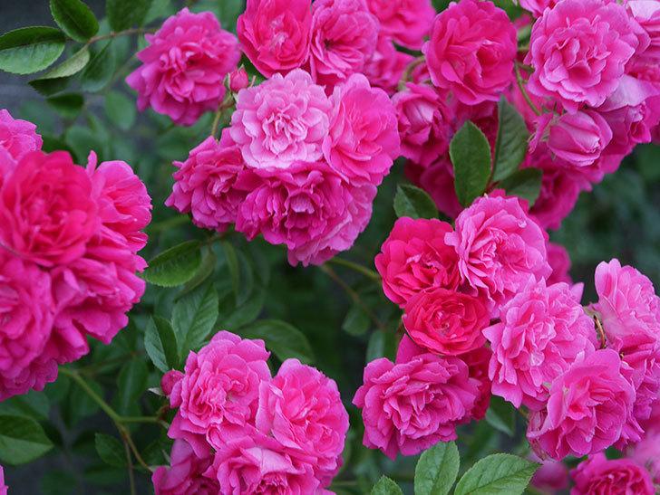 キングローズ(ツルバラ)の花が満開になった。2020年-060.jpg