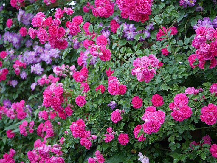 キングローズ(ツルバラ)の花が満開になった。2020年-062.jpg