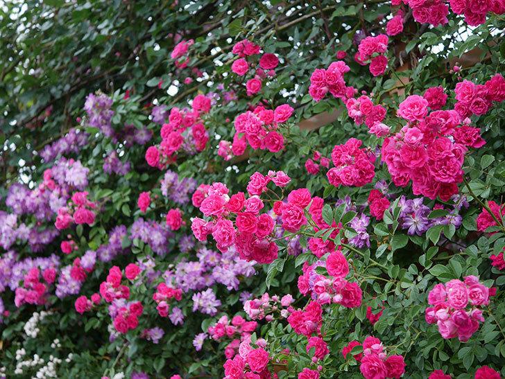 キングローズ(ツルバラ)の花が満開になった。2020年-063.jpg