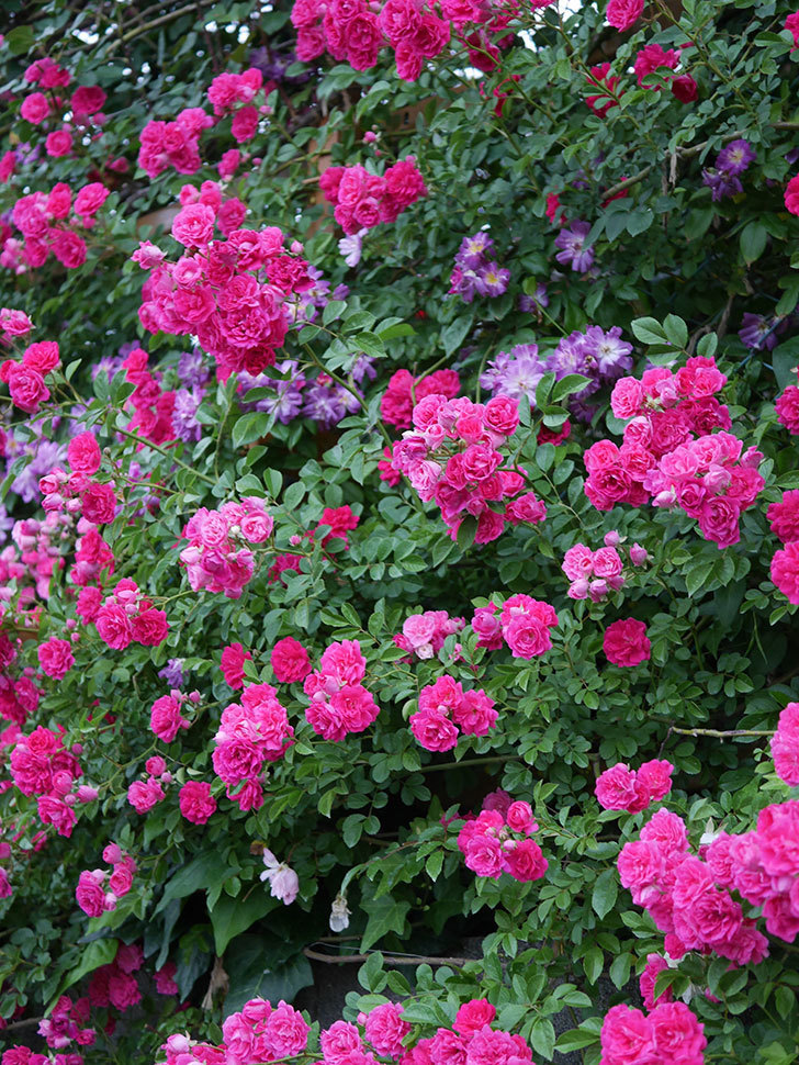 キングローズ(ツルバラ)の花が満開になった。2020年-064.jpg