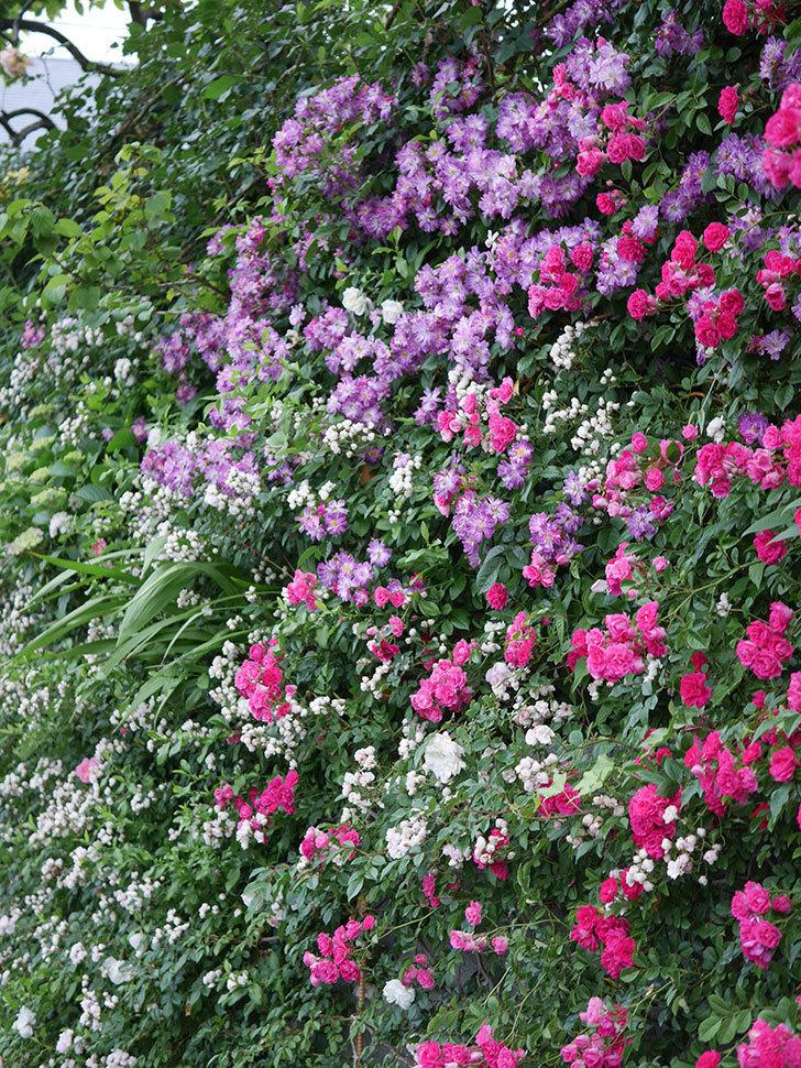 キングローズ(ツルバラ)の花が満開になった。2020年-065.jpg