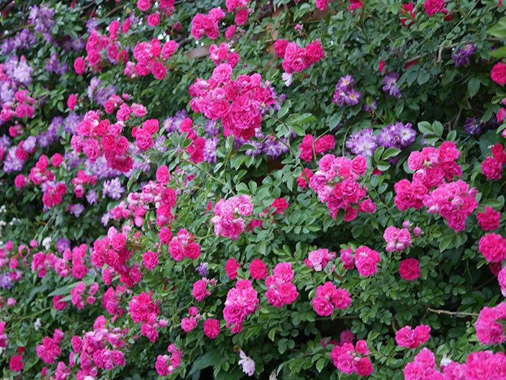 キングローズ(ツルバラ)の花が満開になった。2020年-066.jpg