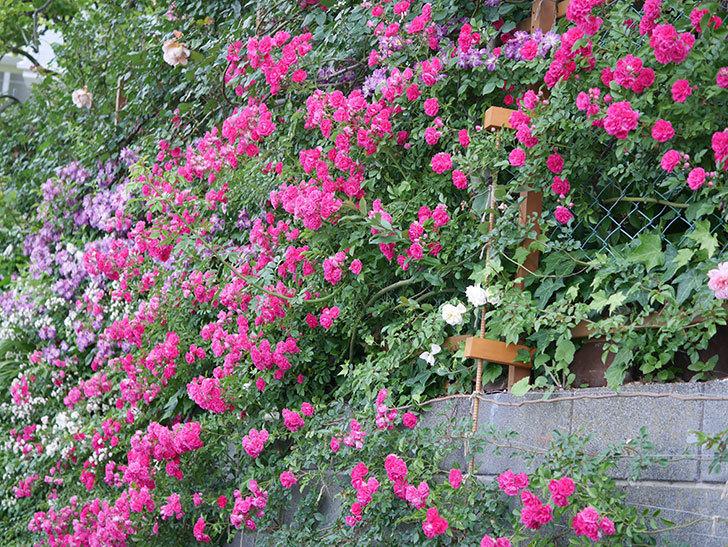 キングローズ(ツルバラ)の花が満開になった。2020年-067.jpg
