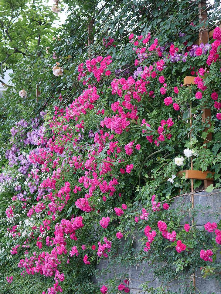 キングローズ(ツルバラ)の花が満開になった。2020年-068.jpg