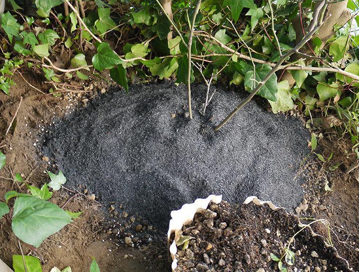 キングローズ(ツルバラ)の鉢植えを地植えして誘引した。2017年-1.jpg