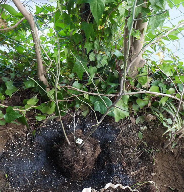 キングローズ(ツルバラ)の鉢植えを地植えして誘引した。2017年-14.jpg
