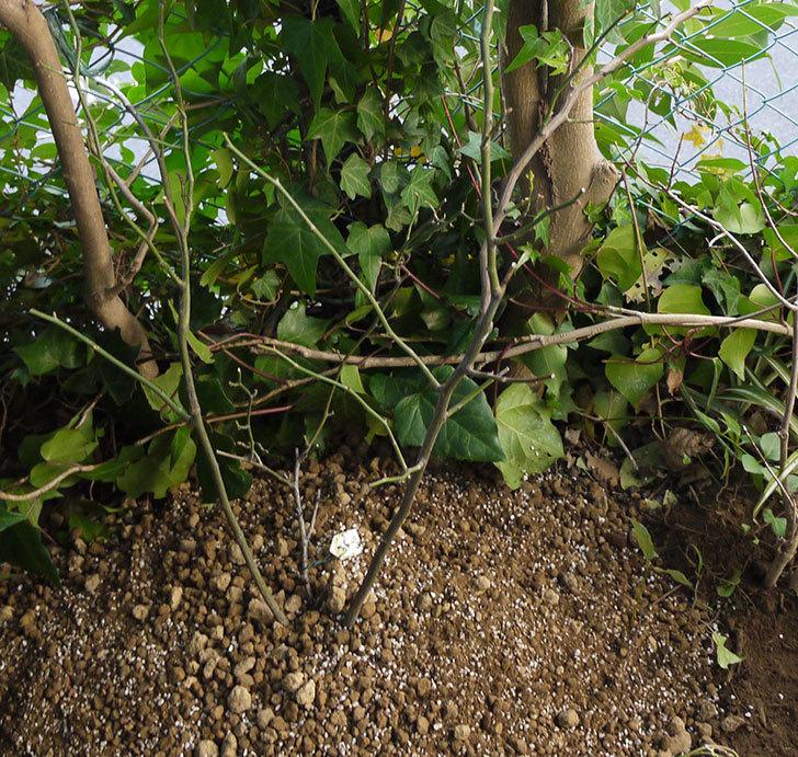 キングローズ(ツルバラ)の鉢植えを地植えして誘引した。2017年-16.jpg
