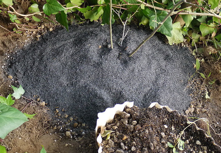 キングローズ(ツルバラ)の鉢植えを地植えして誘引した。2017年-17.jpg
