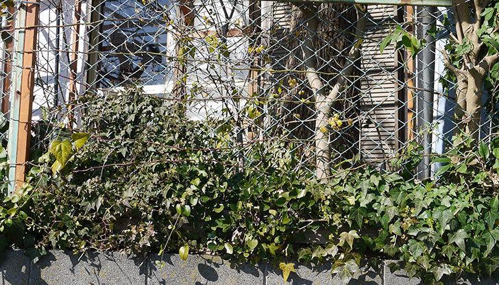 キングローズ(ツルバラ)の鉢植えを地植えして誘引した。2017年-18.jpg