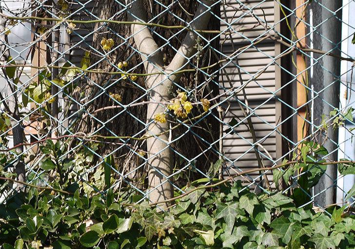 キングローズ(ツルバラ)の鉢植えを地植えして誘引した。2017年-19.jpg