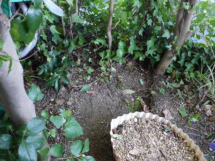 キングローズ(ツルバラ)の鉢植えを地植えして誘引した。2017年-2.jpg
