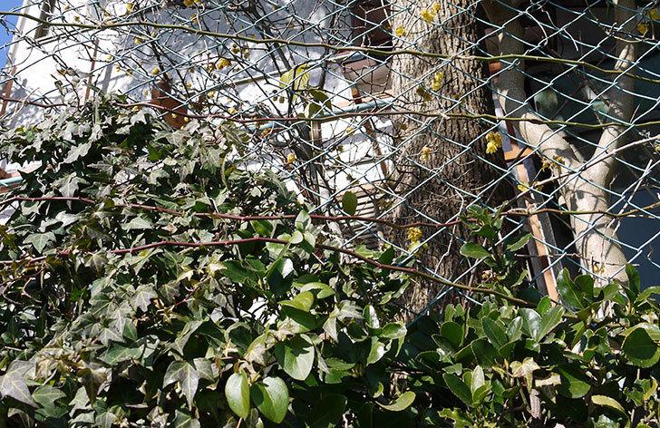 キングローズ(ツルバラ)の鉢植えを地植えして誘引した。2017年-20.jpg