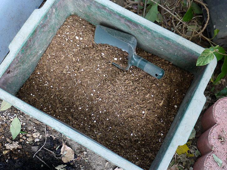 キングローズ(ツルバラ)の鉢植えを地植えして誘引した。2017年-6.jpg