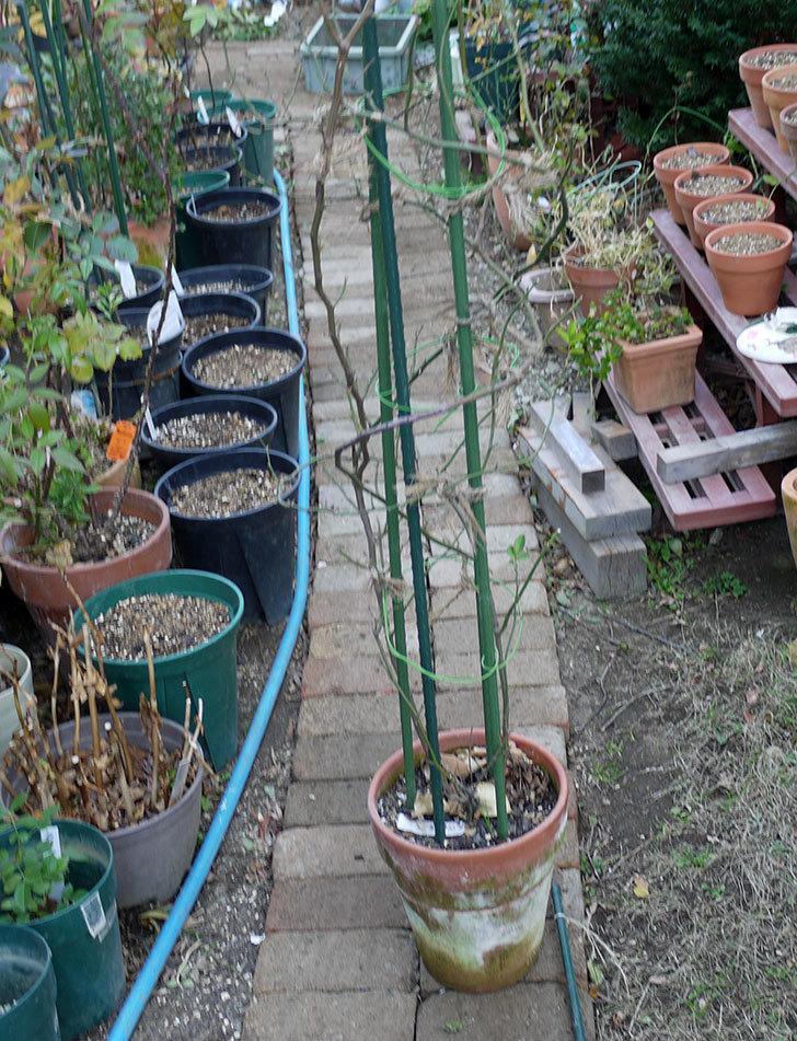 キングローズ(ツルバラ)の鉢植えを地植えして誘引した。2017年-9.jpg