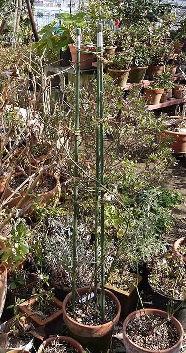 キングローズ(バラ)の植え替えと誘引をした。2016年-1.jpg