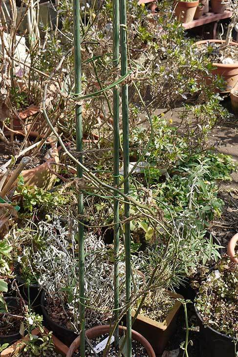キングローズ(バラ)の植え替えと誘引をした。2016年-7.jpg